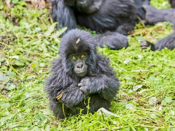 A toddler gorilla in the grass