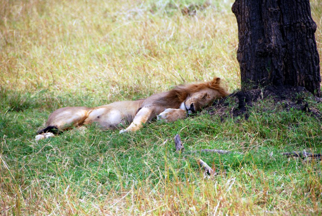 A lion lays under a tree
