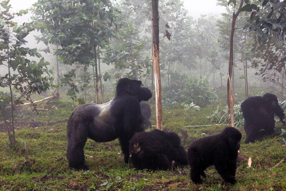 Gorillas in the forest in Rwanda