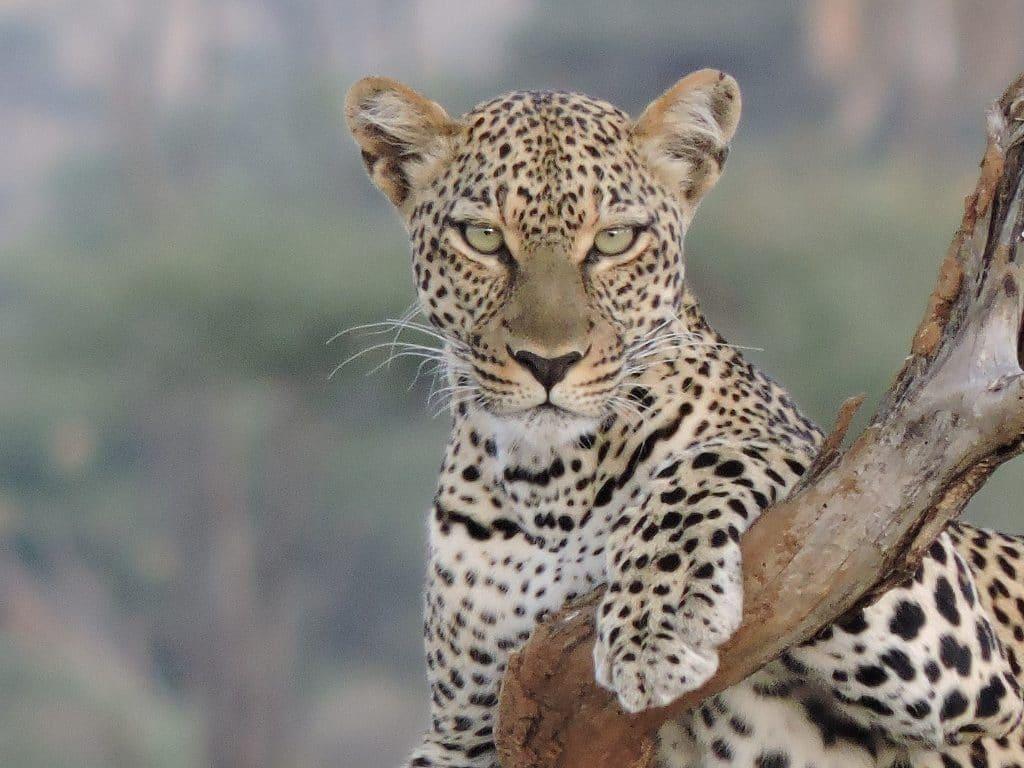 a leopard sits on a tree branch