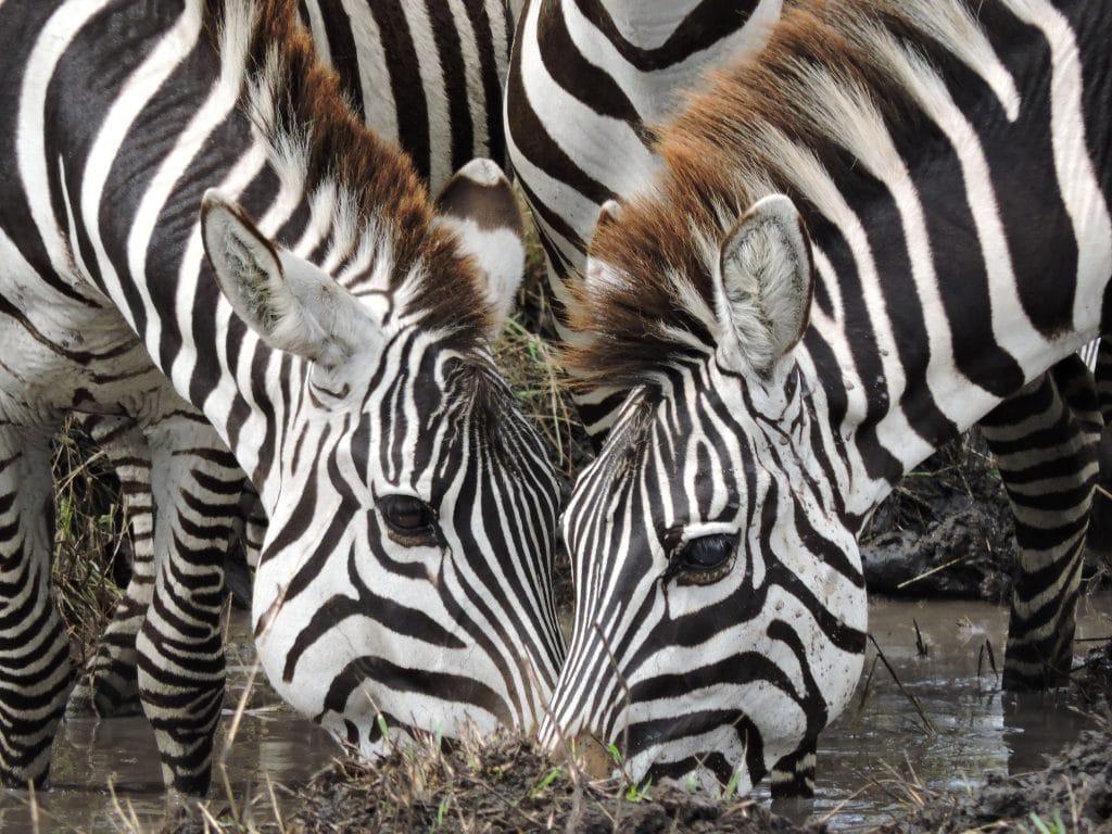 Two zebras drinking water