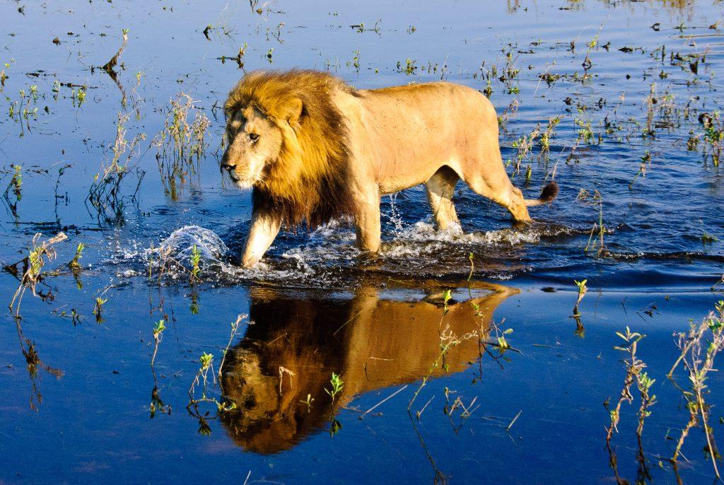 A lion walking through water