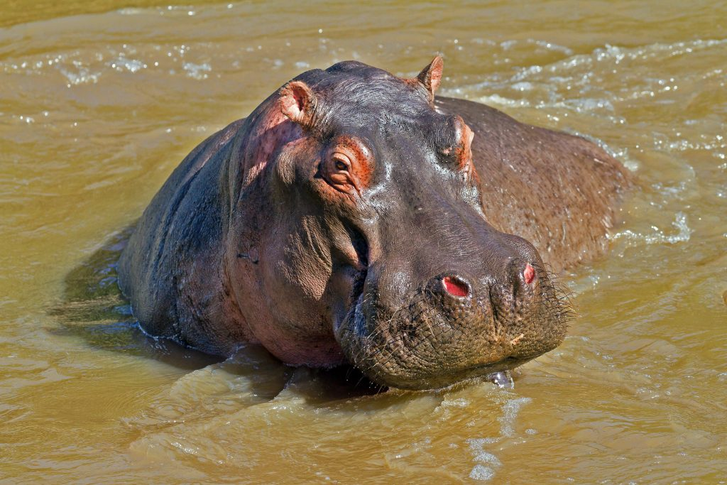 A hippo in the water