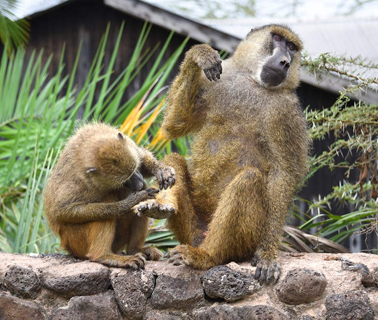 Two baboons sit on a wall