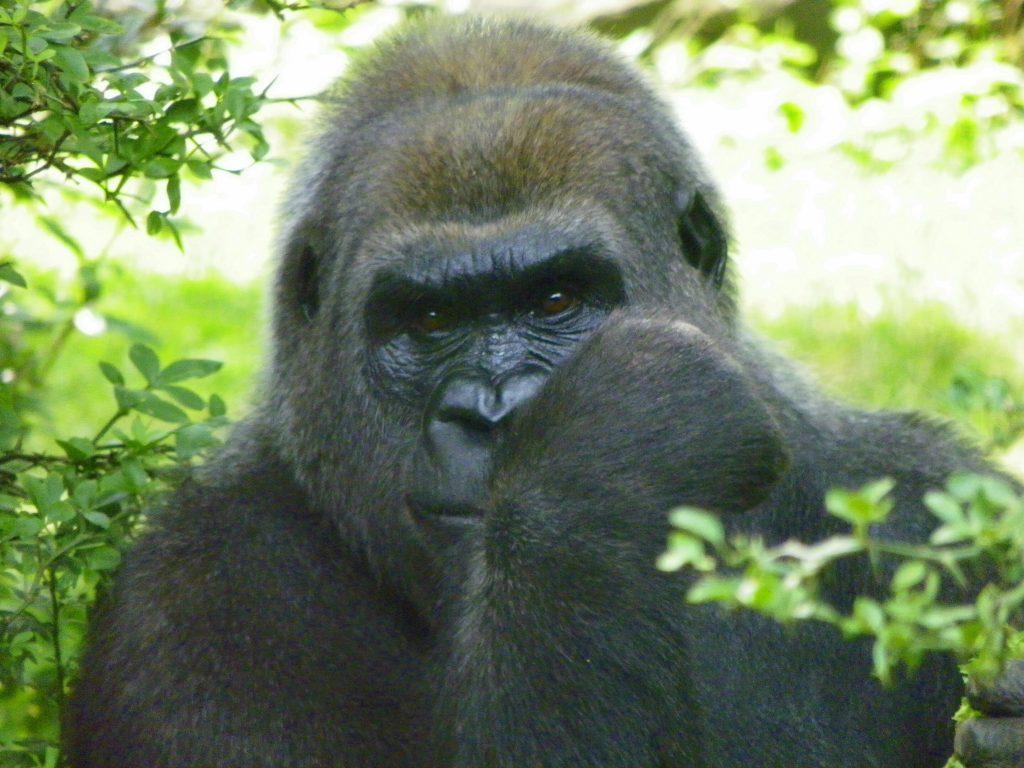 A gorilla poses