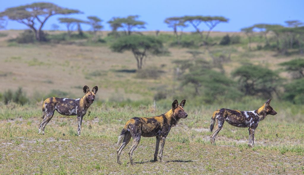 Wild dogs stand in a field