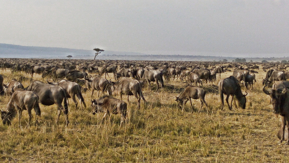 A pack of wildebeest stand in a field