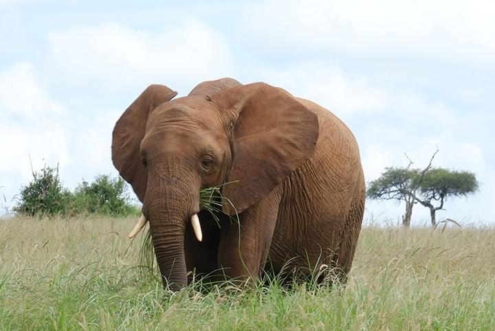 elephant in Tarangire