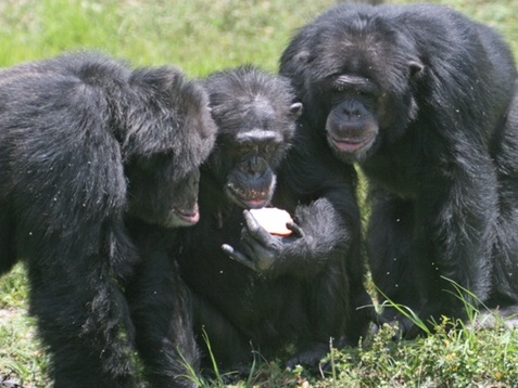 group of chimps around sandwich