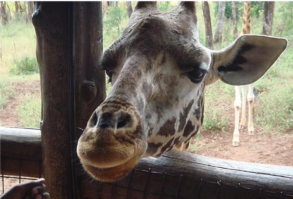A giraffe with it's head close to the camera