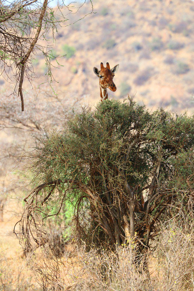 giraffee peeking out in Samburu