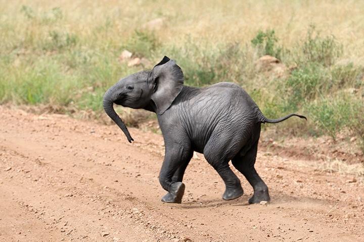 baby elephant running from mom