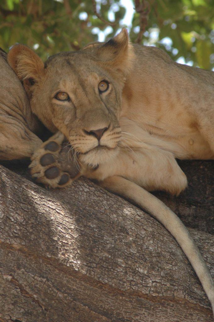 Nanai the lioness