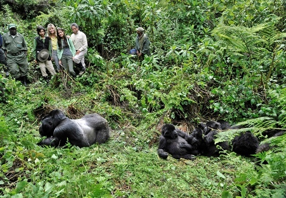 Safari members view Gorillas laying in the grass