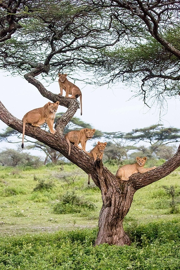 5 lions in a tree