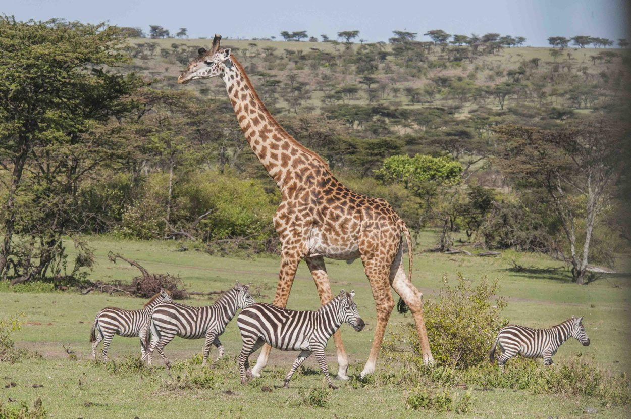 peaceable-giraffe-zebra