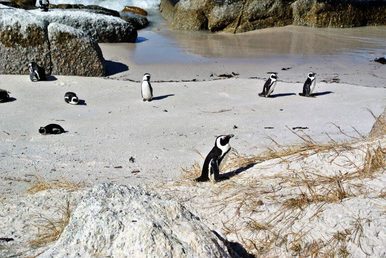 Penguins walk around a beach