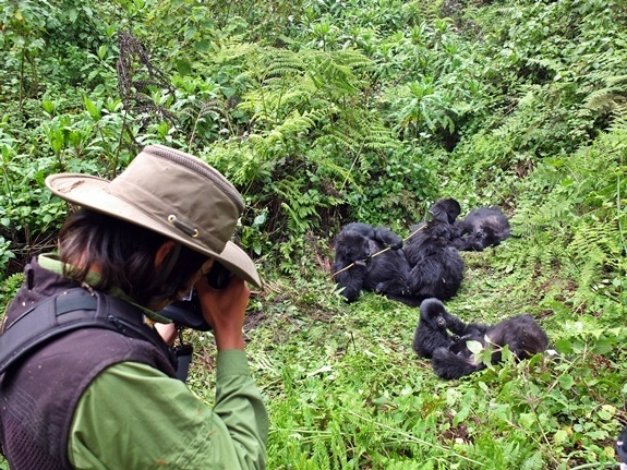 A photograpger takes pictures of gorillas