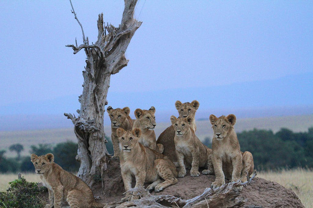 group of lions huddled together