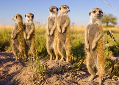 Meercats stand on a dirt mound