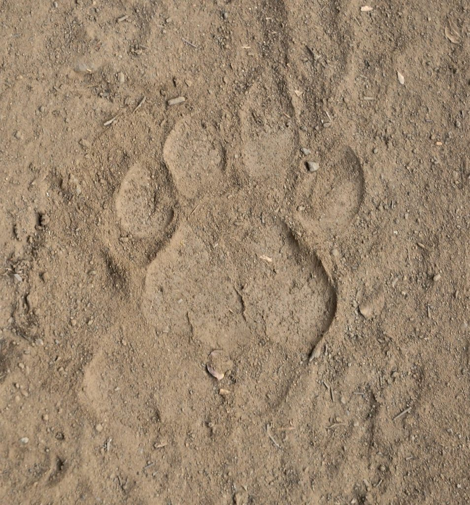 Tiger paw print in the dirt