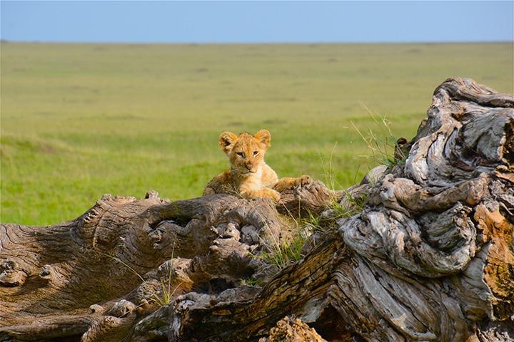 lion cub on stump
