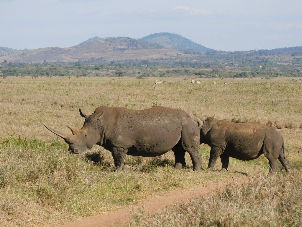 two rhino in Kenya