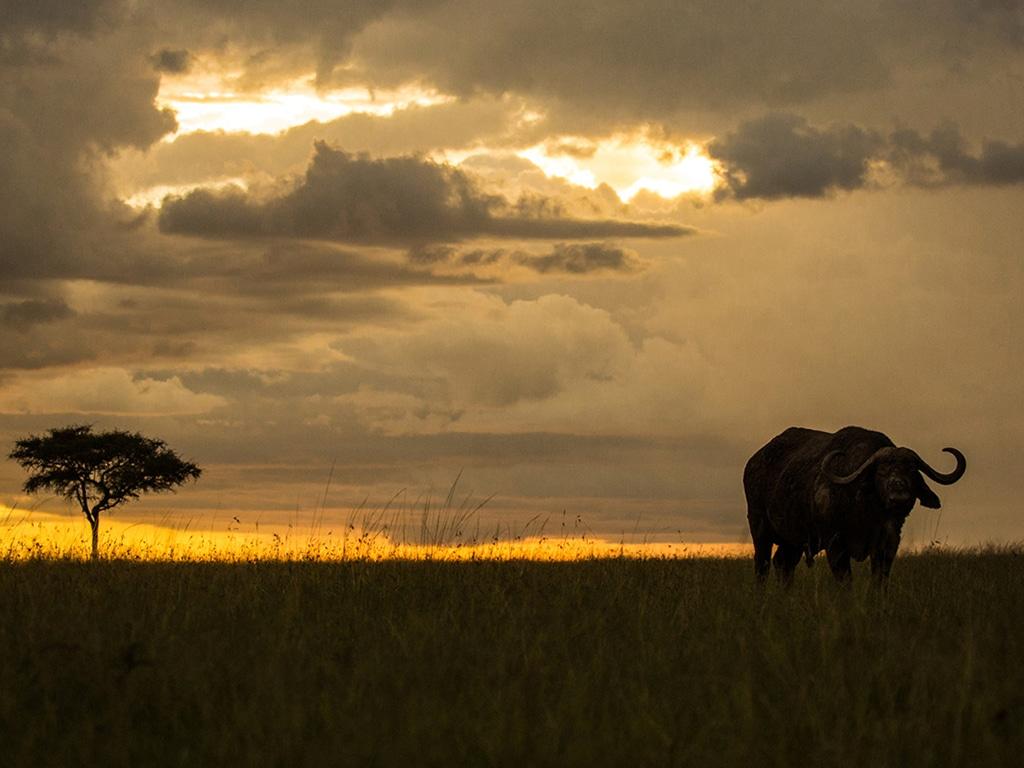 A buffalo standing in an open field in Kenya