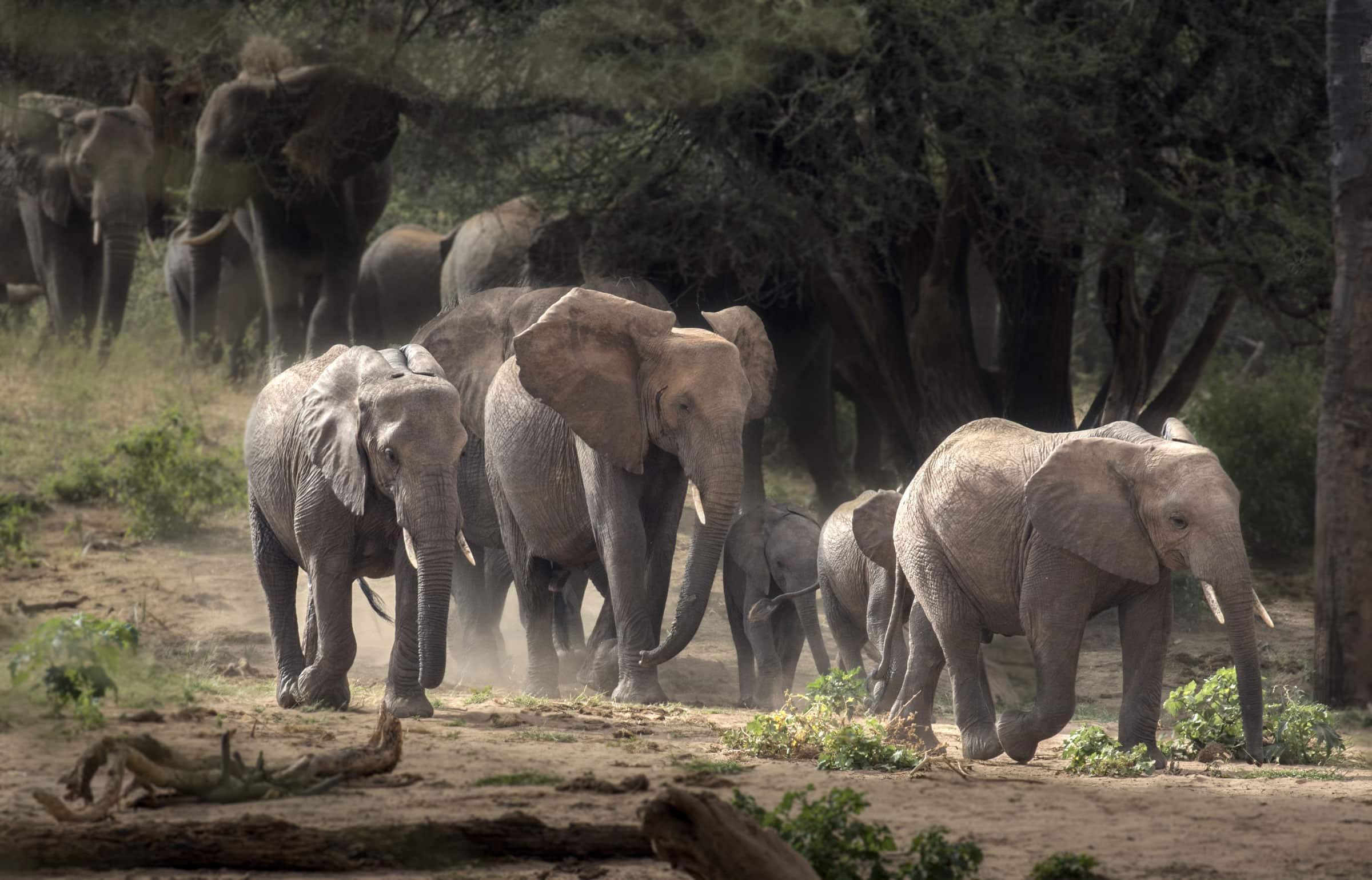 A pack of elephants walking