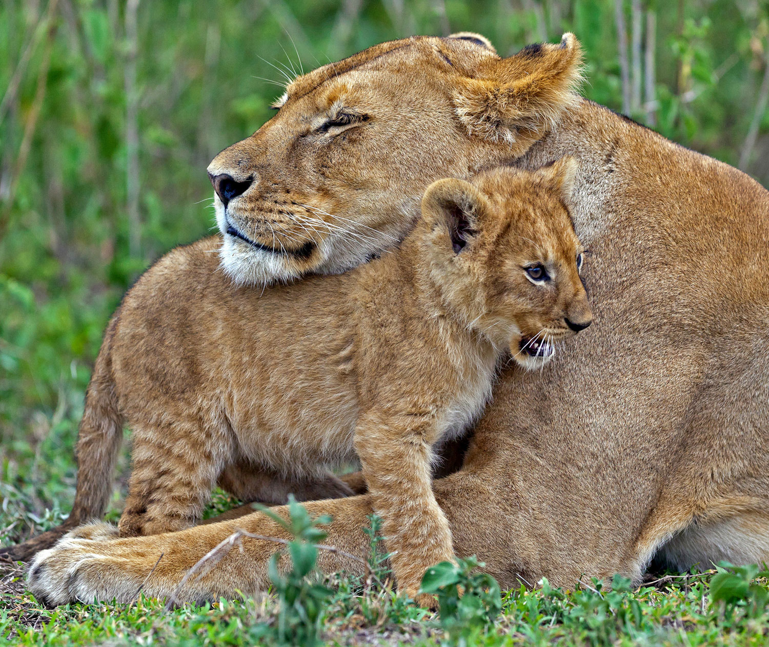 A lion and her cub lay in the grass
