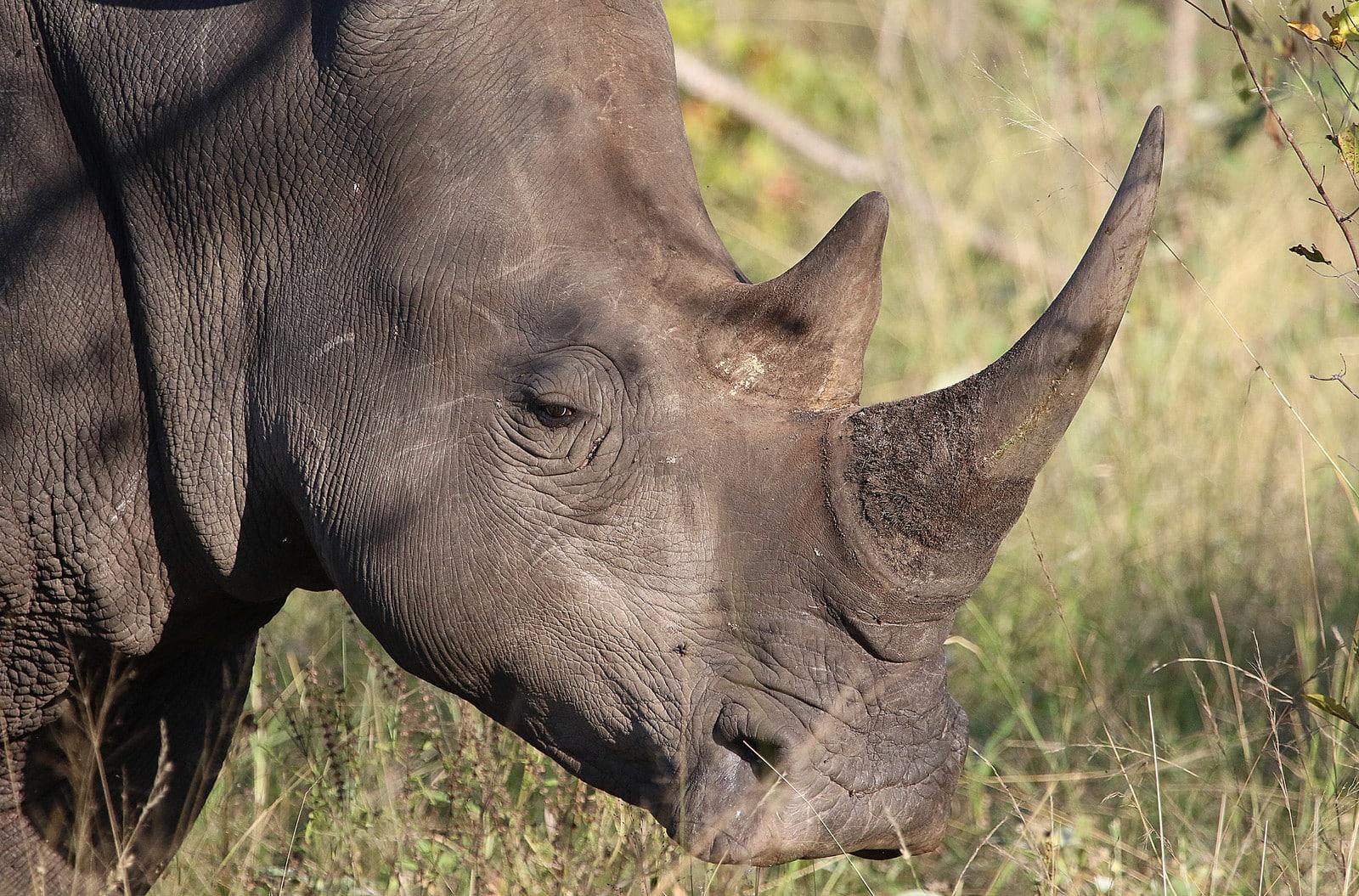 A black rhino in the grass