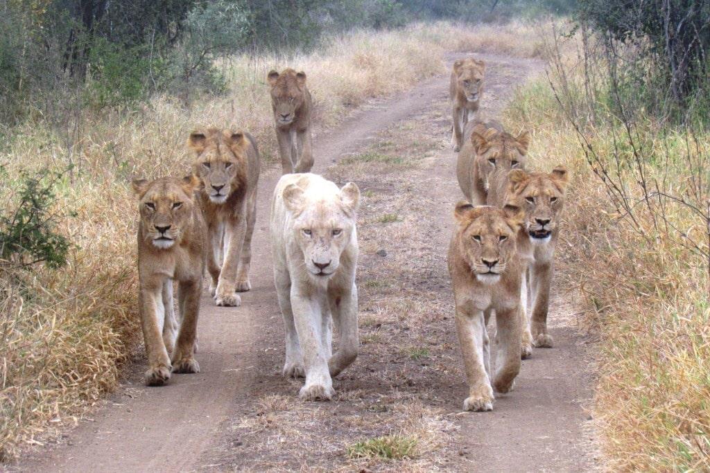 A pack of lions walk along a dirt path