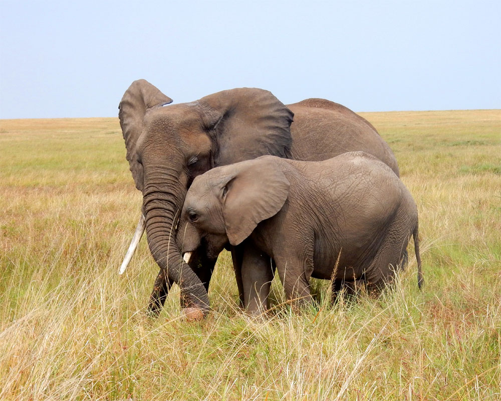 Two elephants standing close together