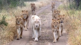 Herd of lions, including a rare white lion.