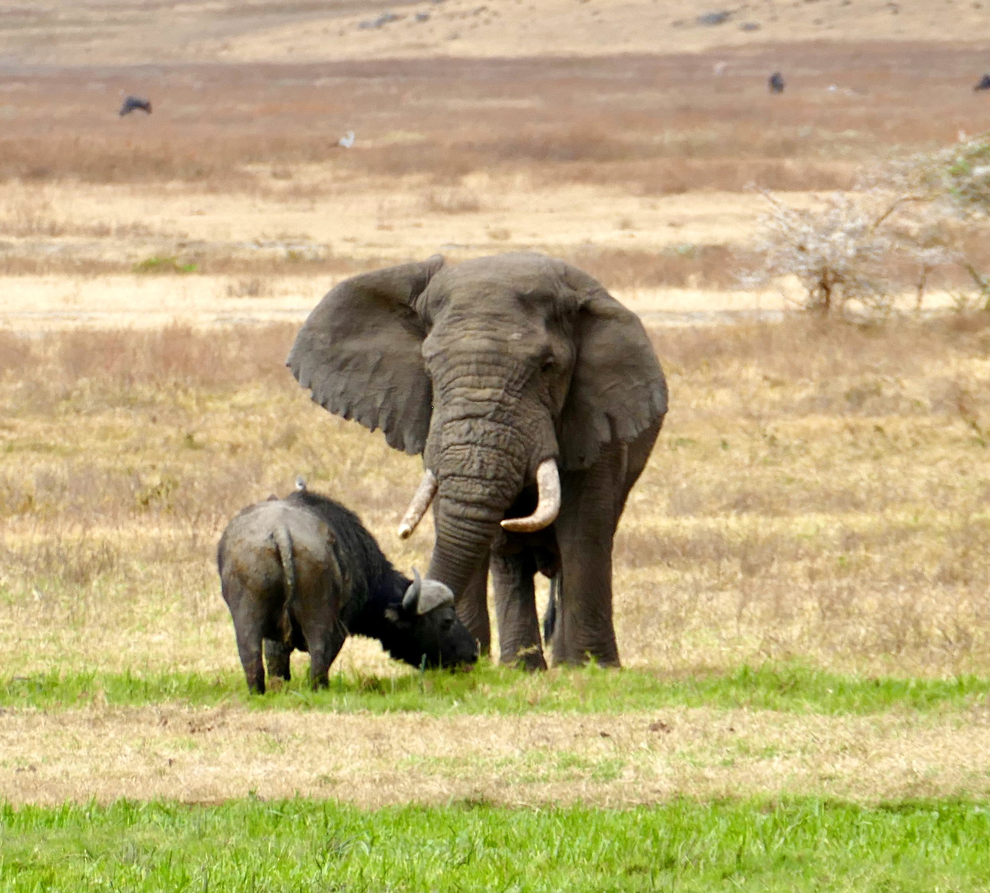 An elephant and cape buffalo in a field