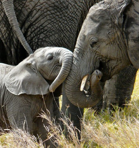 Goessling elephant with baby elephant