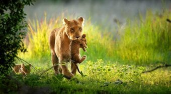 A lion holding her cub
