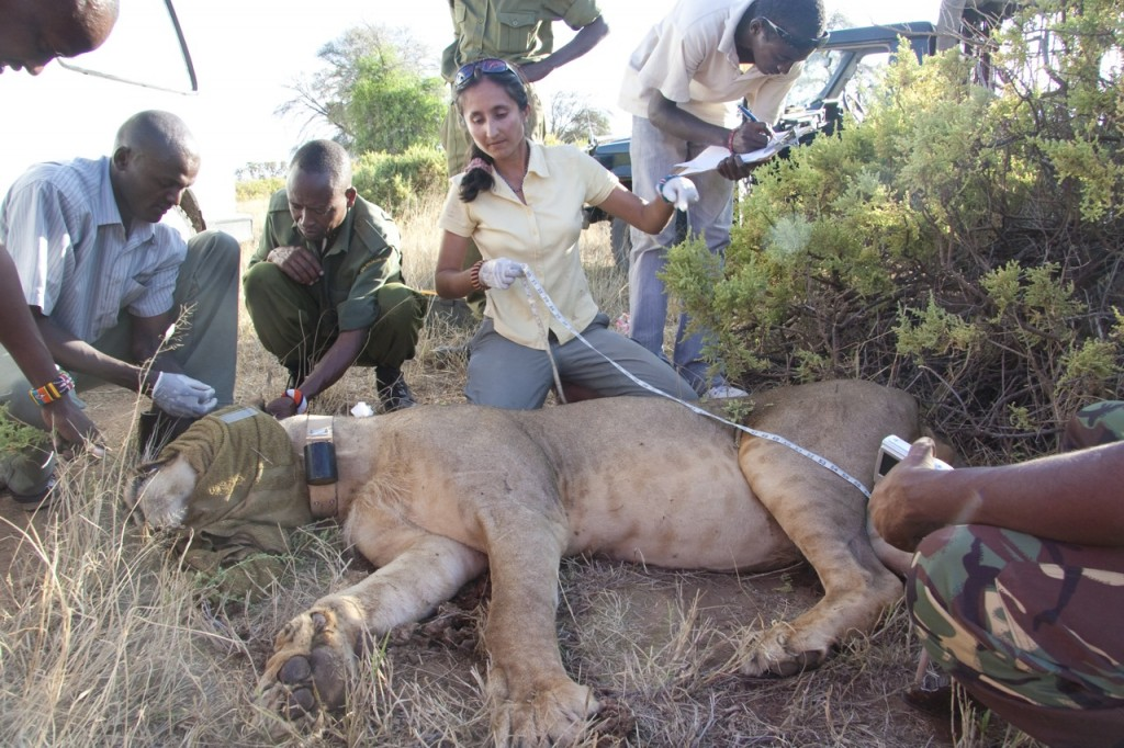 A lion being collared