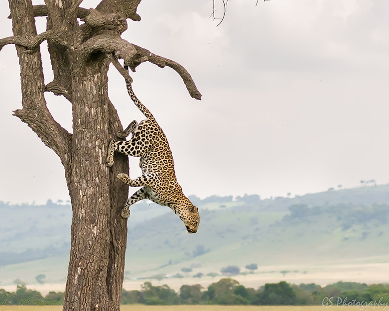 leopard hopping down from tree