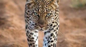 leopard in Samburu National PArk