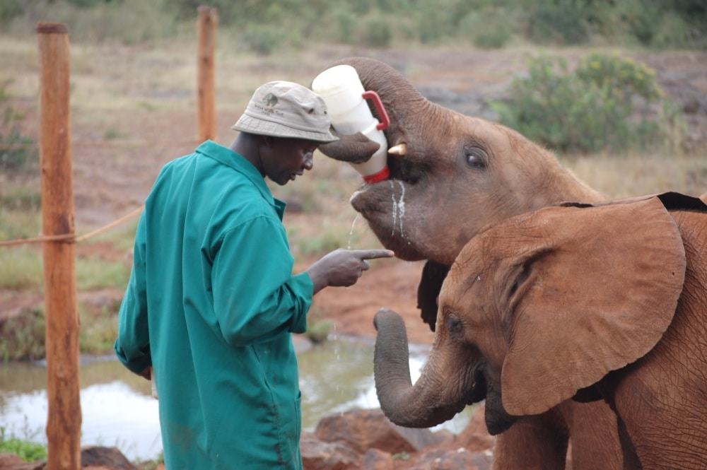 elephant keeper training 2 young elephants