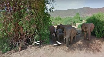 elephant herd captured on Google street view