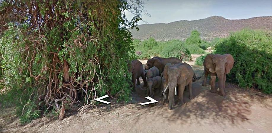 elephant herd captured on Google street view