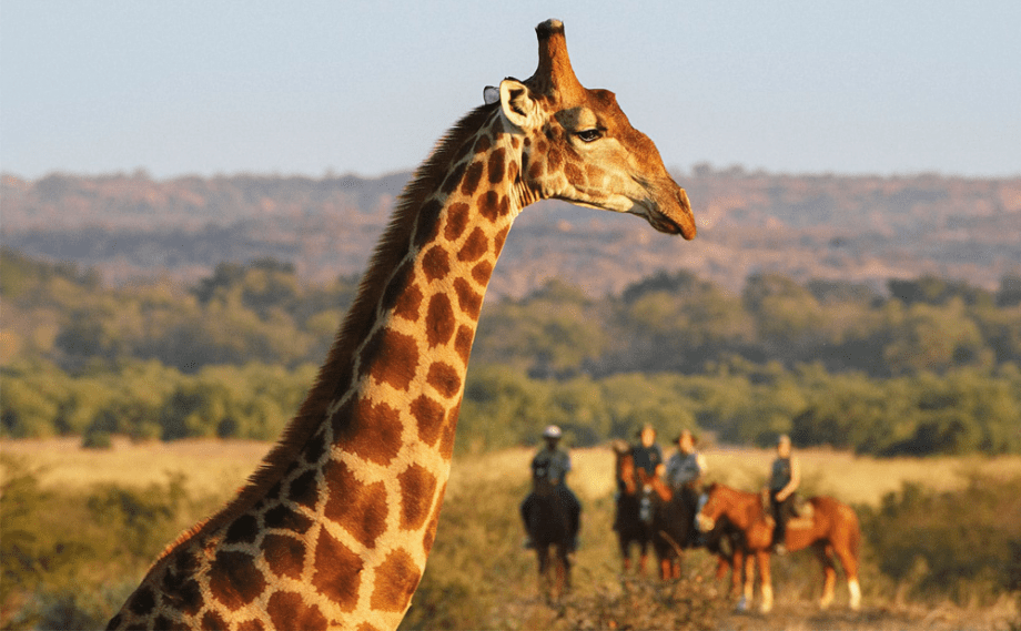 A giraffe in front of people on horses