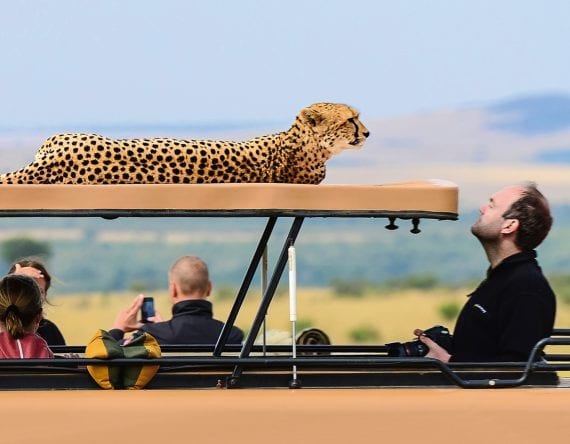 A leopard hanging out on top of a safari truck with a visitor looking at him