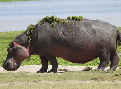 a hippo with grass on its back