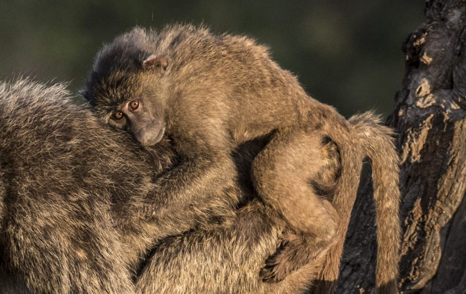 a baboon on the back of another baboon
