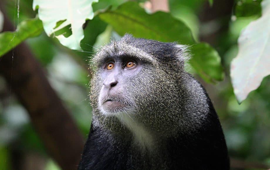 a monkey glaring at something