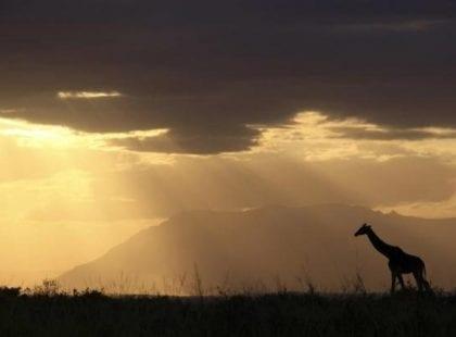 the dark figure of a giraffe with the sun peeking through