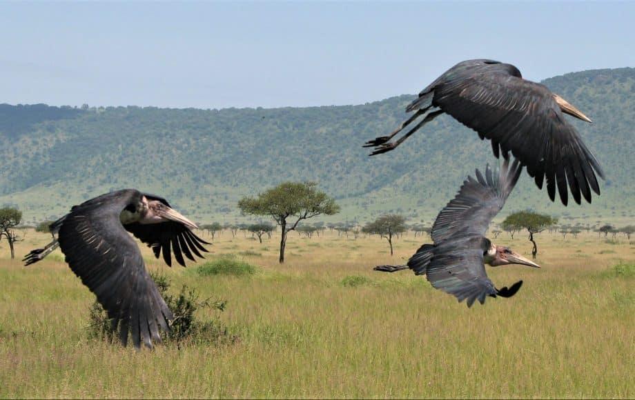 A group of bird flying over an open field.